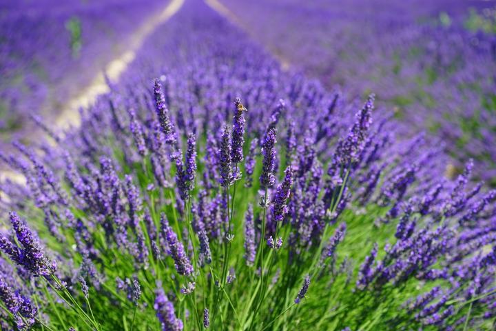 Lavender (Lavandula angustifolia) - 5 of The Best-Smelling House Plants - Forestrypedia