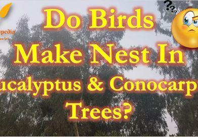 Birds nest on Eucalyptus and Conocarpus Trees - Forestrypedia