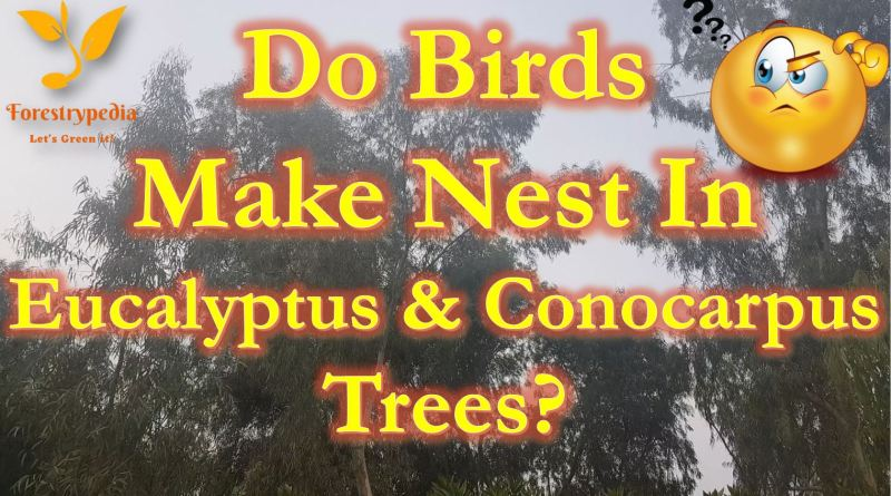Birds nest on Eucalyptus and Conocarpus Trees - Forestrypedia