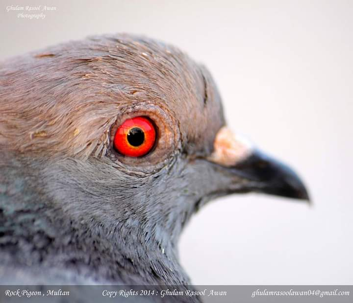 Jungle Babbler (Argya striata) - Forestrypedia