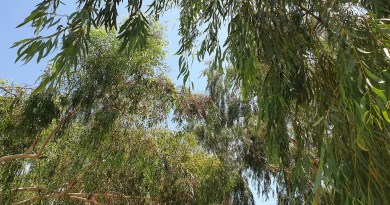 Research Proved that Eucalyptus Does Not Lower Water Table or Dry Out the Sub-Soil Water - forestrypedia.com