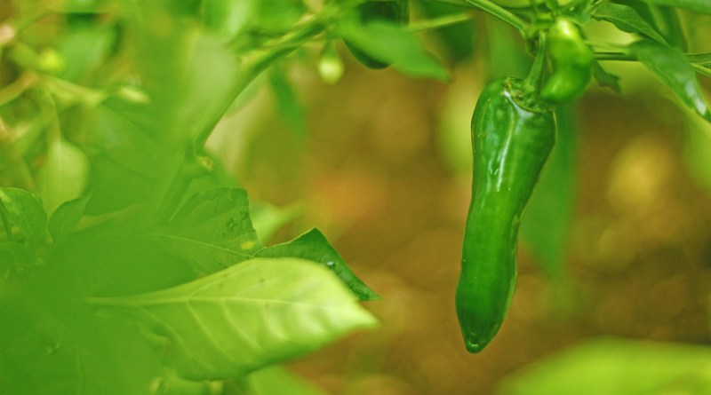Pepper Cultivation مرچ کی کاشت काली मिर्च की खेती - forestrypedia.com