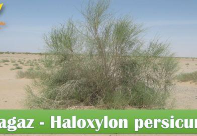 Tagaz (Haloxylon persicum) Conservation Strategy Balochistan - forestrypedia.com