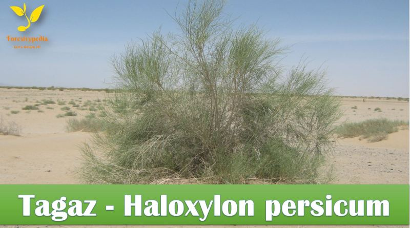 Tagaz (Haloxylon persicum) Conservation Strategy Balochistan - forestrypedia.com