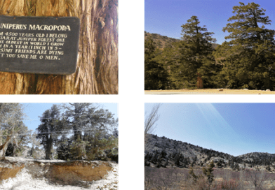 The Threatened Ancient Juniper Forest of Balochistan Pakistan - forestrypedia.com