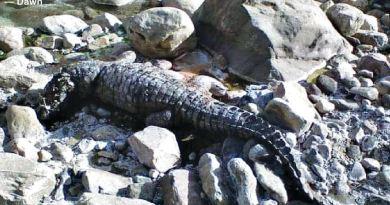 Marsh Crocodiles (Mugger Crocodiles) in Sulaiman Range Lakes of Rajanpur District - forestrypedia.com