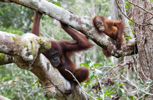 Almost a third of orangutans can be found in timber concessions. Roger Day