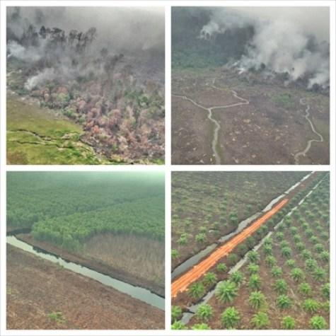 Figura 2: Incendios en bosques (imágenes superiores), cicatrices de incendios que se extienden hasta las plantaciones forestales (imagen inferior izquierda), plantaciones de palma aceitera recientemente establecidas (imagen inferior izquierda). Reserva de Biosfera Giam Siak Kecil-Bukit Batu, 29 de agosto de 2013.