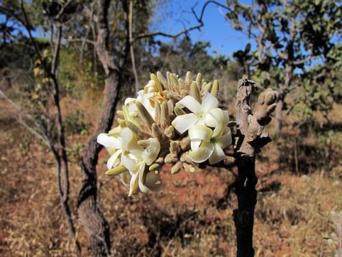 O Cerrado possui parte da mais rica diversidade de espécies vegetais das savanas do mundo. Mauricio Mercadante