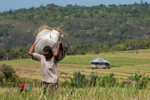 """Cosecha en arrozales en la aldea Dintor, Nusa Tenggara Oriental, Indonesia. Un estudio sistemático busca información sobre la efectividad de los proyectos de """"medios de vida alternativos"""", que procuran ayudar a las poblaciones rurales en su transición hacia actividades económicas ambientalmente sostenibles. Fotografía de CIFOR"""