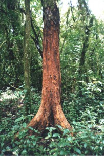 The stripped trunk of a Prunus africana tree after harvesting, in Equatorial Guinea. Photo courtesy Terry Sunderland/CIFOR