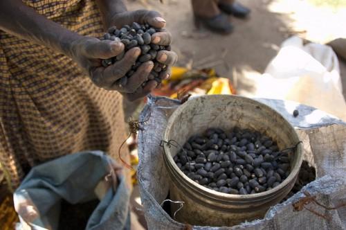 Seorang petani di Zambia utara mengulurkan tanaman jarak pagarnya. Studi terbaru CIFOR menemukan bahwa orang miskin di dunia lebih tergantung pada sumber daya lingkungan dari yang umumnya disadari. Jeff Walker/foto CIFOR