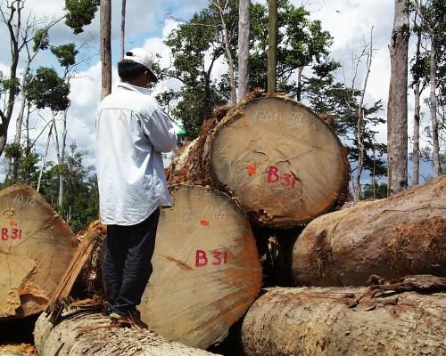 Medición de troncos aserrados en Indonesia. Los sistemas internacionales destinados a controlar la comercialización de madera deben colaborar más estrechamente para que puedan detener la marea de madera ilegal, según un nuevo informe. Foto Agung Prasetyo/CIFOR.