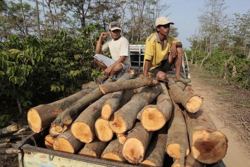 Kayu hasil tebangan dibawa ke tempat penggergajian, Jepara, Jawa Tengah, Indonesia. Kayu yang dijual di pasaran global, antara 15 sampai 30 persen di antaranya adalah ilegal, demikian menurut laporan terbaru. Foto @CIFOR