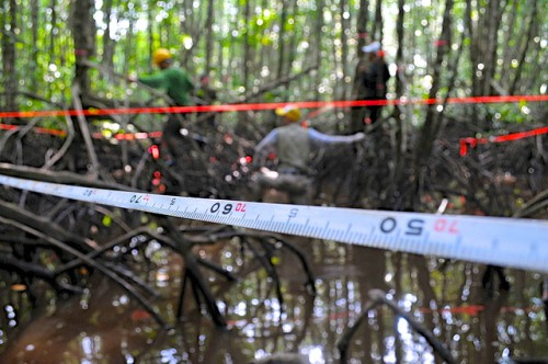 Trabajadores toman medidas en un bosque de manglares en Kubu Raya, Kalimantan Occidental, Indonesia, para evaluar la capacidad de almacenamiento de carbono de los árboles. ¿Pueden los científicos medir también el progreso de las políticas? Foto Kate Evans/CIFOR.