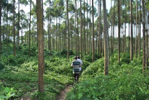 An agroforestry plantation near Virunga National Park. Emilie Smith Dumont/CIFOR photo