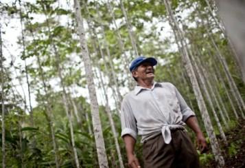 Hay muchas especies de árboles más valiosas que la bolaina, pero pocas son tan fáciles de cultivar. Esta especie ama el sol, brota con rapidez en purmas y puede estar lista para su cosecha en unos pocos años, con mínima intervención silvicultural, afirman los científicos. Fotografía de Ernesto Benavides / CIFOR.