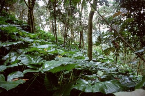 Hutan Kamerun. Penelitian terbaru menunjukkan kapasitas besar hutan terlindung di negara Afrika Tengah menjadi tempat kaya keragaman hayati serta sekuestrasi karbon tingkat tinggi. Terry Sunderland/Foto CIFOR