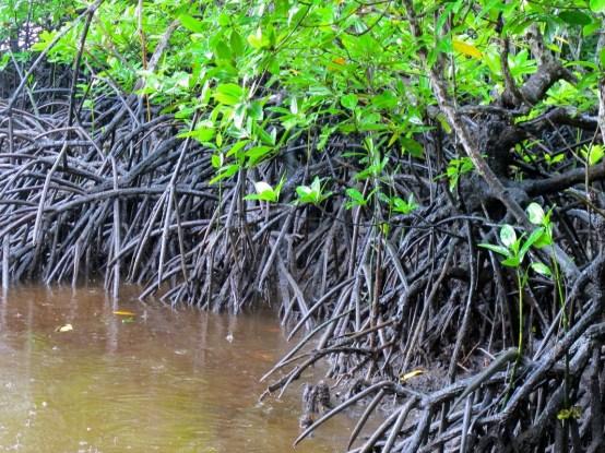 Les mangroves peuvent-elles résister à des marées toujours plus hautes?