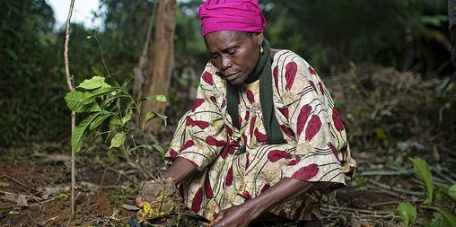 Planting Gnetum (okok) in Cameroon
