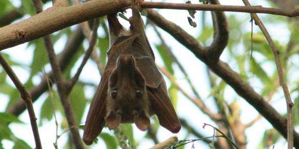 Gambian Epauletted Bats (Epomophorus gambianus)