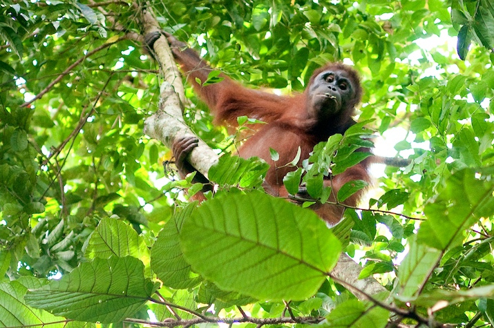 Stories to save the orangutans
