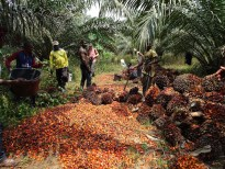 Permalink to: Oil palm landscapes: Playing the long game with palm oil