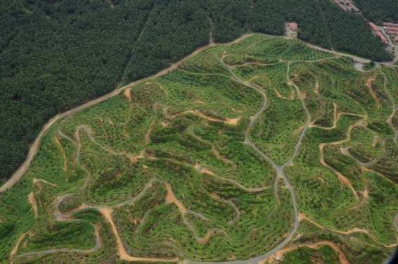 oil palm, palm oil, EU phase out, EU ban on palm oil, EU ban, Malaysia, WTO, Indonesia