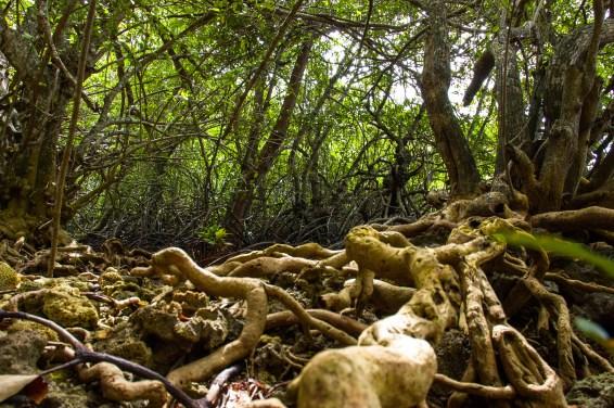 mangrove, mangrove forest