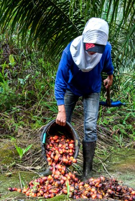 palm oil farmer, oil palm, EU phase out, CPO
