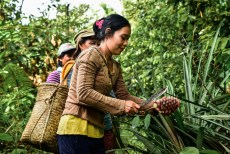 Permalink to: Expansion of oil palm plantations into forests appears to be changing local diets in Indonesia