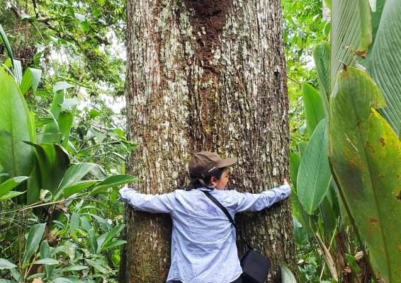 brazil nut tree, amazon, tree hugger, valentine's day, love of trees
