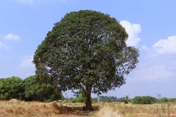 mango tree, valentine's day