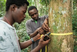 Yangambi Biosphere Reserve, Democratic Republic of Congo, DRC, Trésor Bolaya Bokutu, measure trees, Chadrack Kafuti, afrormorsia,