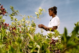 farmer, fruit collecting, agroforestry, cobat fruit, Sorobouly village, Boromo, Burkina Faso.