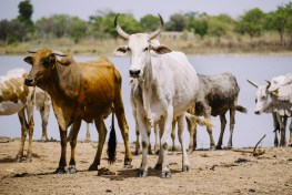 cattle, burkina faso, agriculture, patoralists, conservation, national park, buffer zone, water scarcity, water security, land conflict