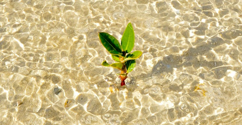 Tiny mangrove in rippling water