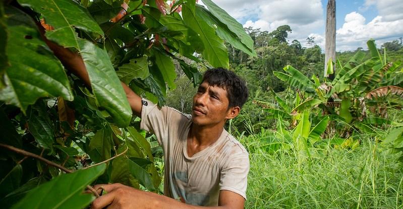 Man examines cocoa