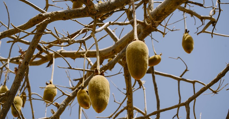 Baobab fruit hang from tree branches