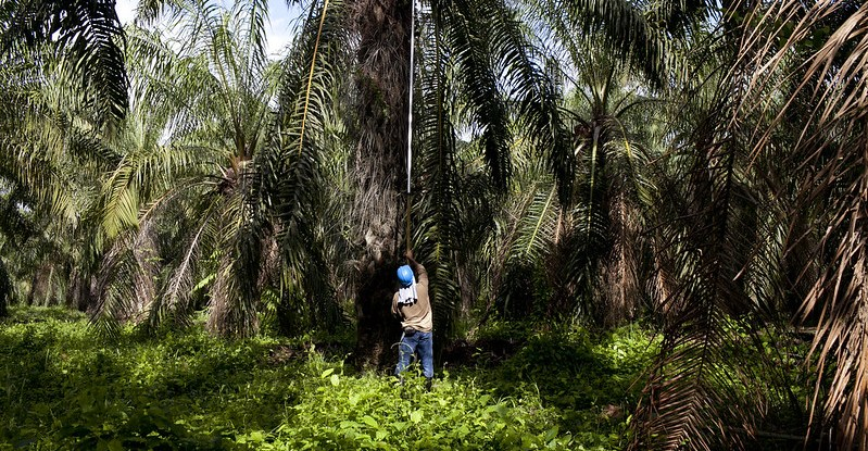 An oil palm worker is shown from behind working with a long hook to take out oil palm kernels