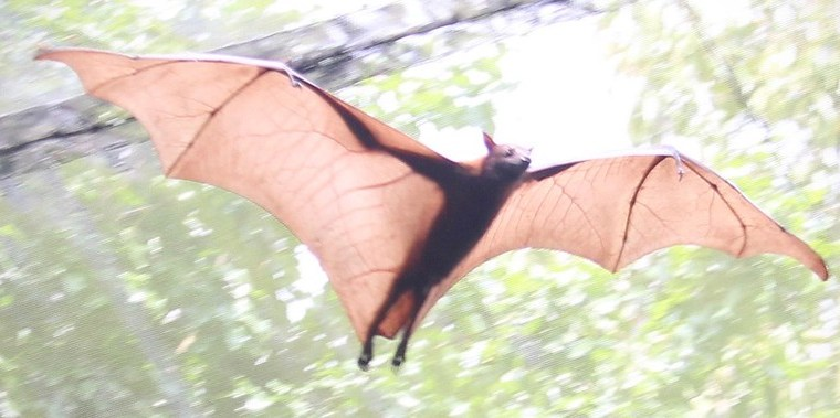 A large bat flies with wings outspread