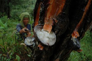 Rubber tree tapping. Photo: Aulia Erlangga/CIFOR