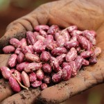 CIAT collaboration in southern Africa is not limited to beans. Photo: Manon Koningstein/CIAT