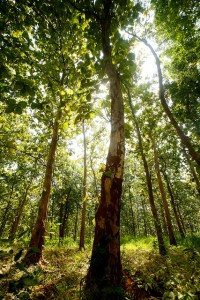 Teak forest in Jepara, Central Java. Photo: Murdani Usman/CIFOR