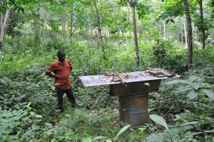 Rubber agroforestry in Nigeria: a farmer checks his beehive. Photo: Julius Atia (World Agroforestry Centre)