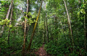 A forest trail in the Unamat forest, Puerto Maldonado, Madre de Dios, Peru (Marco Simola/CIFOR).