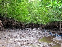 Focus on mangroves: Blue carbon science for sustainable development