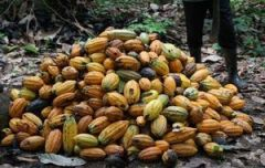 Moving toward a sustainable cocoa sector in Ghana