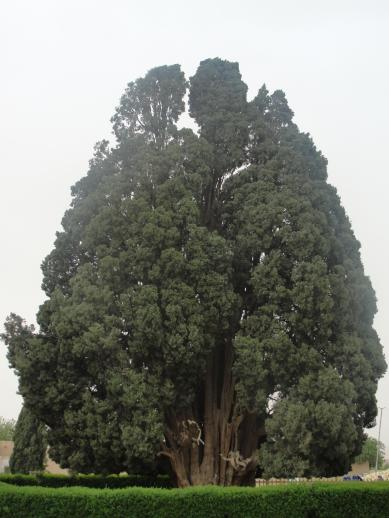 4000-year-old Cypress of Abarqu, Iran
