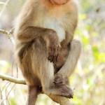 Bonnet_macaque_(Macaca_radiata)_Photograph_By_Shantanu_Kuveskar